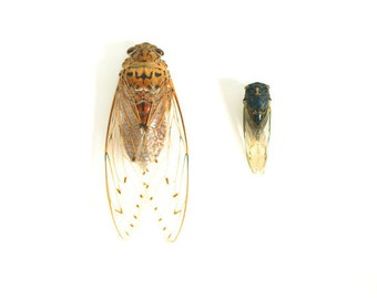 Cicada Photograph Cicada Print Affordable Home Photography Nature Photography Insect Entomology
