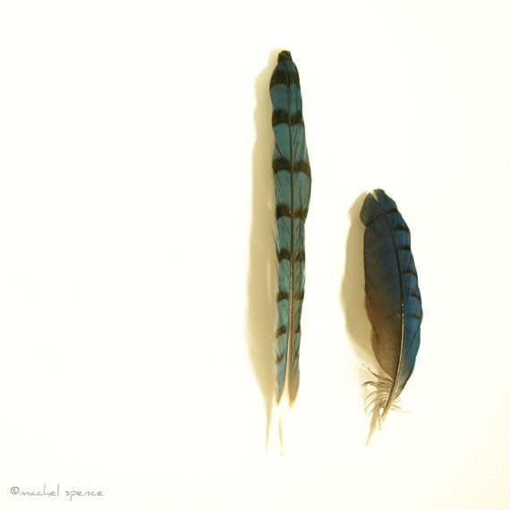 Blue Stellar's Jay Feathers Photograph Stellar's Jay Woodland Bird Forest Bird Ornithology Natural History