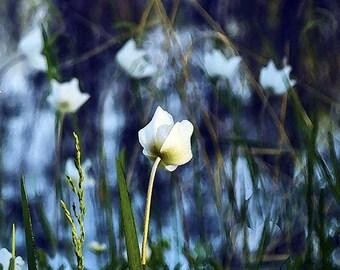 8x8 archival Giclee print   Modern Art    First Spring Tulip