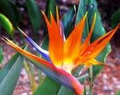 Retro Bird Of Paradise 8 by 10 Fine Arts Photograph