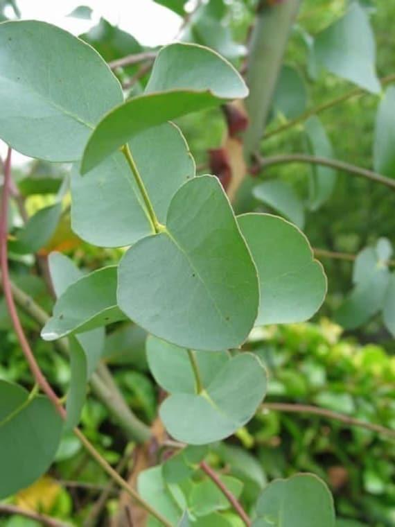 Eucalyptus Essential Oil - 1 Ounce