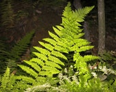 Ferns in Morning Light 8 x 8 photograph