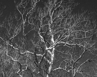 Tree Photography Black and White Nature Landscape Wall Decor Matted 5 x 7 Fine Art Home and Office Decor