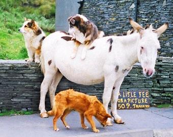 Animal Photography, Irish Photograph, Dogs And Donkey, County Clare, Ireland Landscape, Fine Art Photography, Office Decor, Wall Art