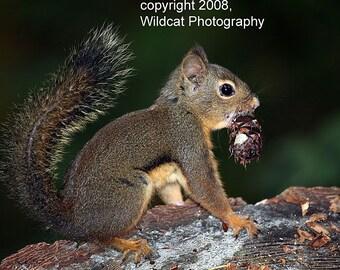 Douglas Squirrel Photograph