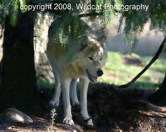 Wolf Waiting Photograph