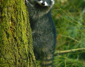 Raccoon Up a Tree Photograph Note Card or Greeting Card