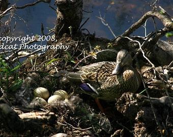 Mallard Duck Mom with Eggs Photograph