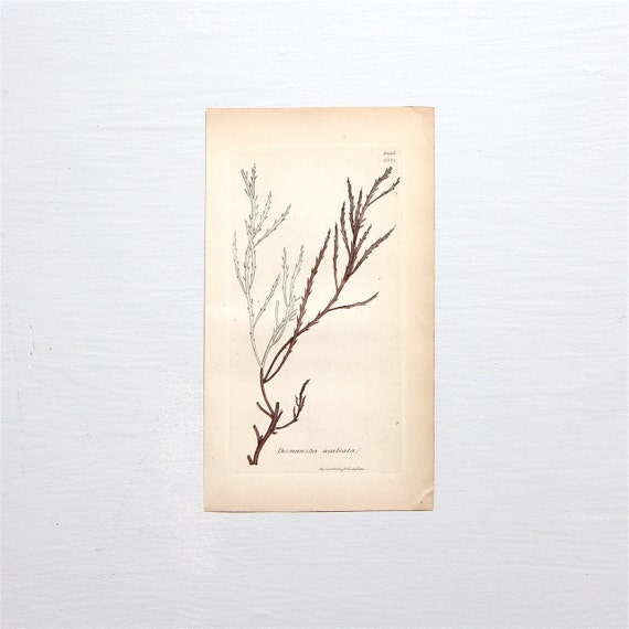 Original Antique Seaweed Copperplate Engraving - Sowerby