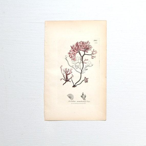 Original Antique Seaweed Copperplate Engraving - Sowerby
