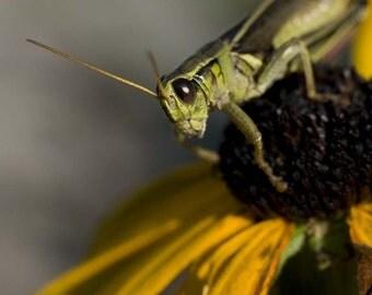 Hello Grasshopper 1, matted 5x7 print