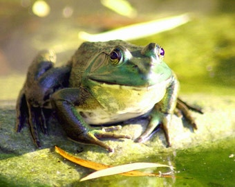 Frog / digital photography / Frog photo / frog picture