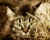 Maine Coon Cat Photography, Fine Art Photography, 5x7
