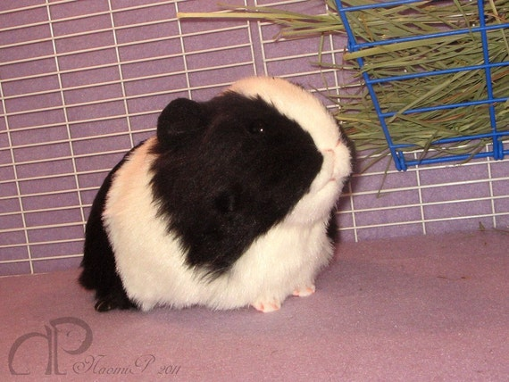 Reserved for Christina Isabal - Big Black and White, Little Buff Guinea Pig Plushies