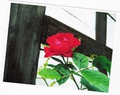 Rote Rose (8x11) - in Germany
