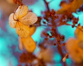 Nature photography, winter photo, winter hydrangea, flower photograph, blue green, russet, rusty brown, tangerine tango