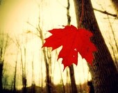 Autumn photography, blood red leaves, rustic fall art, canadian forest, cranberry, nature photo, red maple leaf, spooky, woodland photo