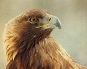 Eagle print bird photo eagle golden eagle brown feathers mustard yellow animal portrait natural history : Eagle Eye 8x8