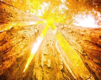 California photo redwood trees state forest tree photo burnt orange art rustic decor nature art earthtones Redwoods 8x10 Photography