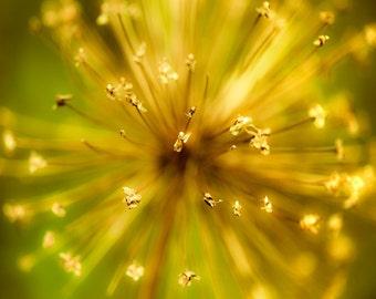 Yellow and green, flower photography, mustard yellow, avocado green, nature photo, fireworks, autumn flower - Kablooie 8x10