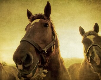 Horse photography, france photography, horses, horse art, harvest gold, animal, nature photo equestrian, golden light, coffee