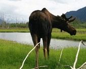 CARD SALE 1 DOLLAR Alaska Wildlife - Grizzly  Moose Ox