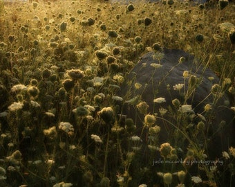 nature photography queen annes lace fine art photography sunrise home decor field brown