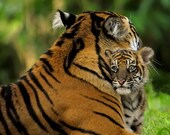 Mother's Love - A touching scene between mother tiger and her cub - 5 x 7 print