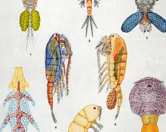 1929 Chart of Copepods Crustaceans to Frame