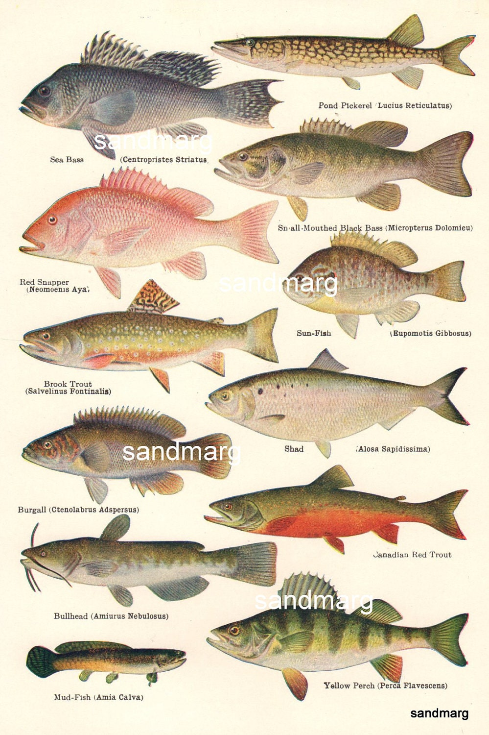 North american food and game fish chart 1918 perch trout bass for Fish and game