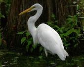 Great Egret Fine Art Photograph 8x10