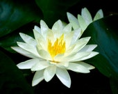 White Water Lily 5x7 Fine Art Photograph