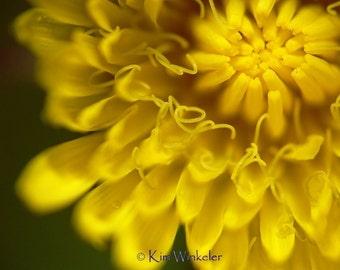 Dandelion Macro Fine Art Photograph 8x10