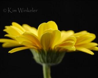 Yellow Sunflower 8x10 Photograph