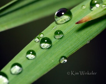 Dewdrops on Grass 8x10 Photograph