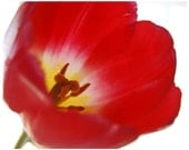 Mother's Day Passion Tulip- fine art photographic print,8x10