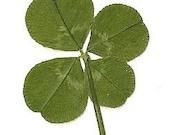 PIF 4 leaf clover
