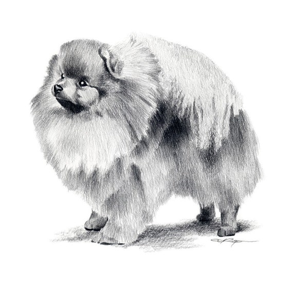 POMERANIAN Dog Pencil Drawing Art Print Signed by Artist DJ Rogers