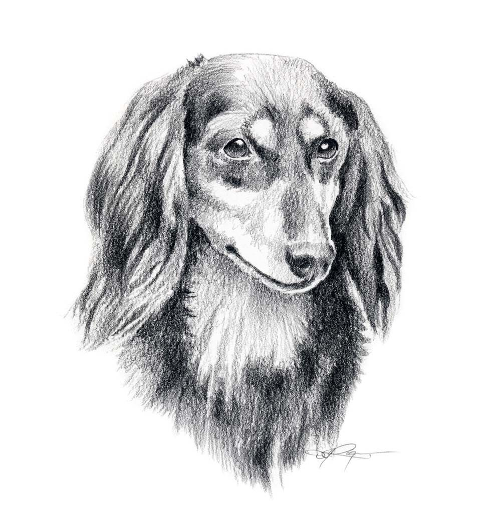 Long haired dachshund dog pencil drawing art print signed by - Dessin teckel ...