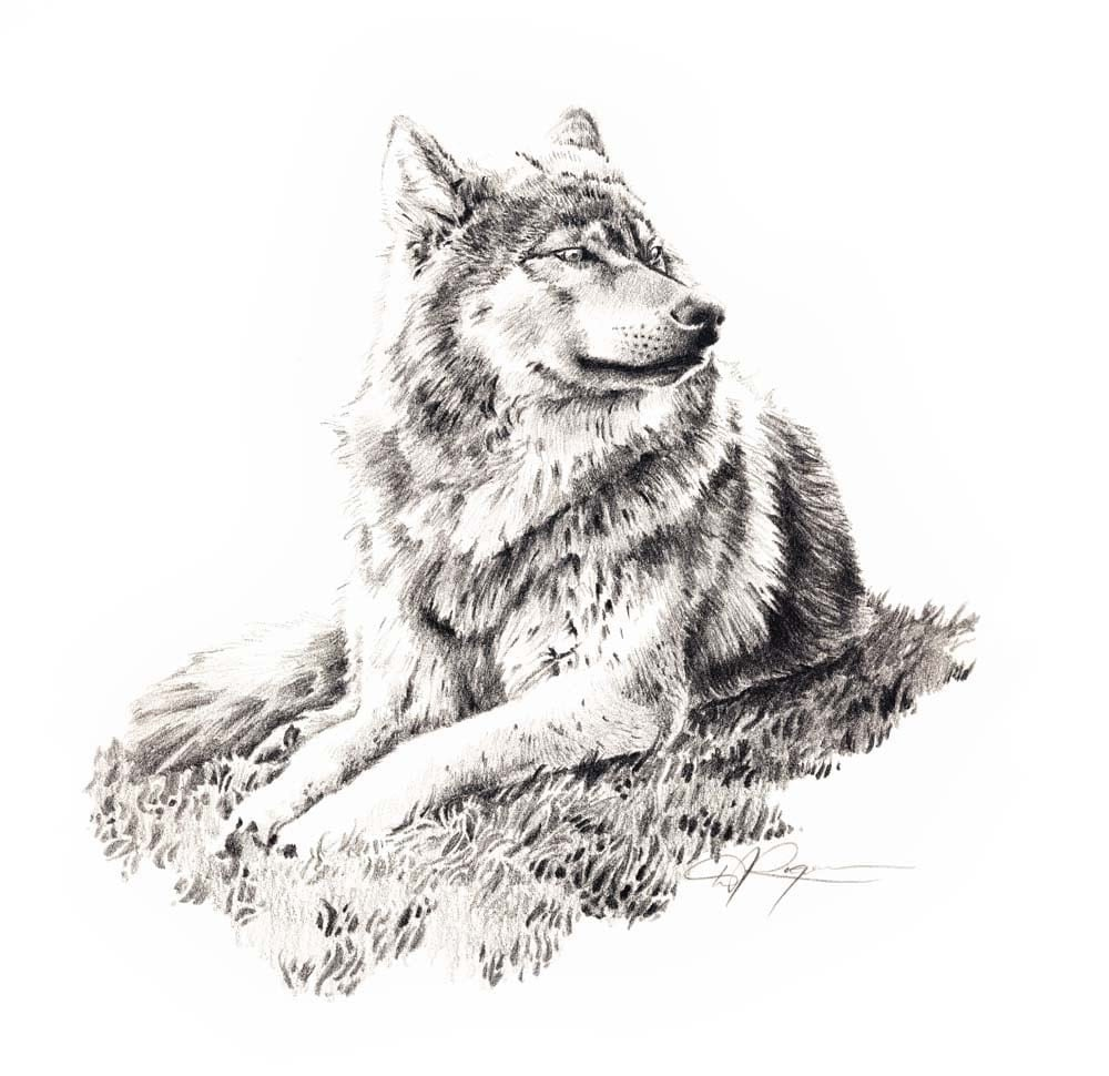 Drawings Of Wolves: WOLF LYING DOWN Pencil Drawing Art Print Signed By Artist D J