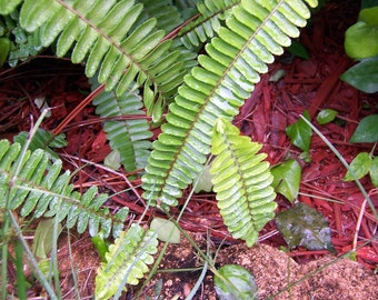 FERN - Nephrolepis obliterate 4 Offshoots