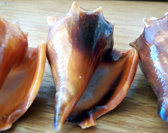 Conch Shells - Supplies of 7 Florida Fighting Conch Shells two to three inches long