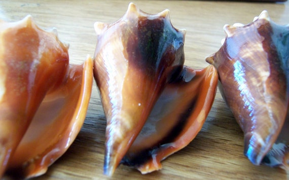 SALE - Conch Shells - Supplies of Four Florida Fighting Conch Shells two to three inches long