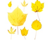 Yellow fall leaves - 8 x 8 photograph - Maine woodland, autumn forest