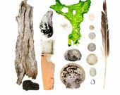 Beachcombing series No.62 - 12 x 12 photograph - feather, sand dollars, scallop shell, seaweed, driftwood