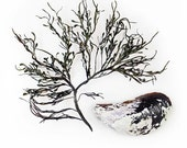 Rockweed and Mussel - 8 x 8 photograph - seaweed, shell