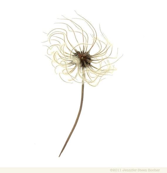 Clematis Seedhead - 12 x 12 photograph - botanical specimen