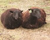 Raw Black Welsh Mountain Sheep Wool, true natural black