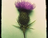 The Tufted Thistle