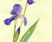 Blue Flag Iris  Original